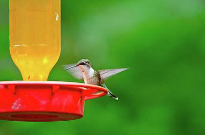 Ruby-throated Hummingbird Photograph - Minnesota, Mendota Heights by Bernard Friel
