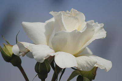 Photograph - Minnie's Rose 2 by Susan Stevens Crosby