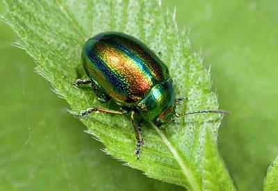 Beetle Photograph - Mint Beetle by Nigel Downer