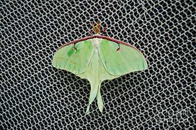 Photograph - Mint Green Luna Moth by Andee Design