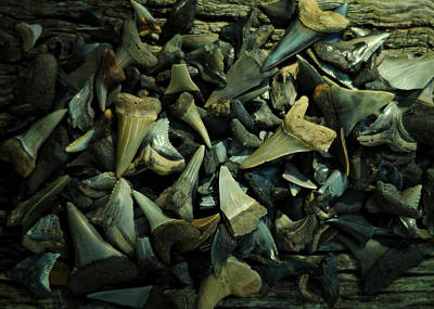 Photograph - Miocene Fossil Shark Tooth Assortment by Rebecca Sherman