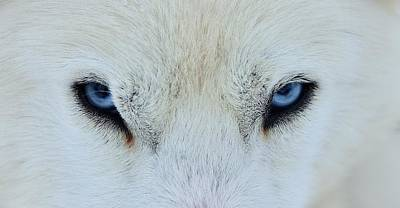 Wolves Photograph - Mirada Azul by Miquel Angel Art?s