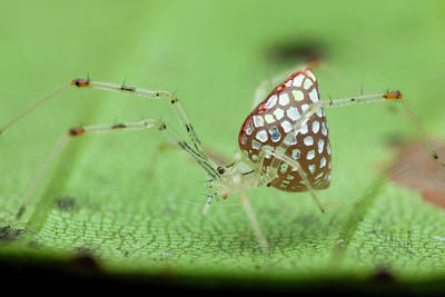 Arachnid Photograph - Mirror Spider by Melvyn Yeo