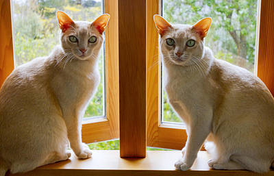 Photograph - Mirrored Cats by Jenny Setchell