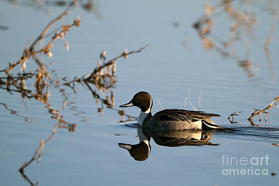 Photograph - Northern Pintail Mirror Image by Martha Marks