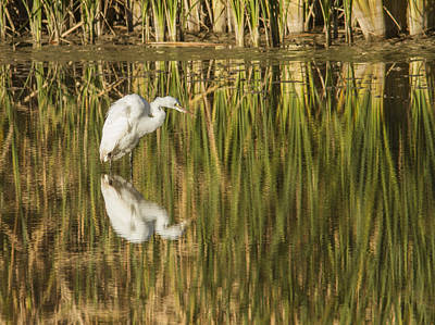 Photograph - Mirrored White Egret by Jean Noren