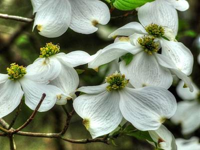 Art Print featuring the photograph Mississippi Dogwood II by Lanita Williams