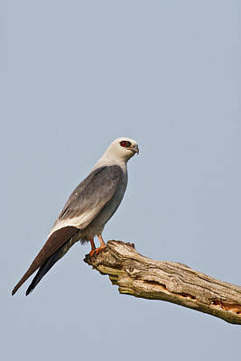 Mississippi Kite Photograph - Mississippi Kite (ictinia by Larry Ditto