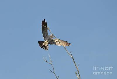 Mississippi Kite Photograph - Mississippi Kite by Kathy Gibbons