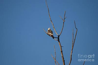 Photograph - Mississippi Kite by Mark McReynolds