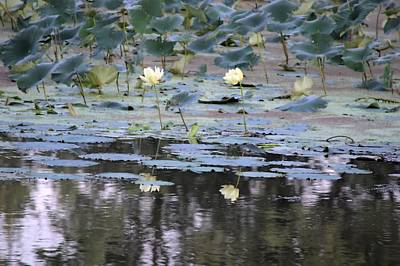 Photograph - Mississippi Lotus by Bonfire Photography