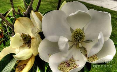 Mississippi Magnolia Art Print