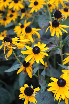 Andrea Grist Wall Art - Photograph - Missouri Black-eyed Susan by Andrea K Grist