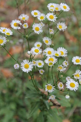 Andrea Grist Wall Art - Photograph - Missouri Daisies by Andrea K Grist