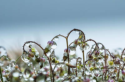 Moisture On Plants Photograph - Mist Collects On Saxifrage Blossoms by Robert L. Potts
