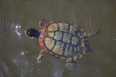 Photograph - Mister Turtle by Gordon Elwell