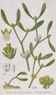 Painting - Mistletoe by Elizabeth Blackwell