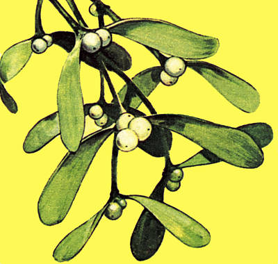 Drawing - Mistletoe by English School
