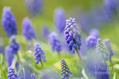 Spring Bulbs Photograph - Misty Blues 2 by Sharon Talson