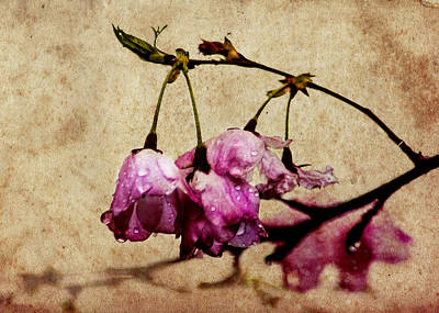 Misty Cherry Blossoms Art Print by Jon Woodhams