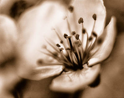 Photograph - Misty Plumb Blossom by Robert Culver