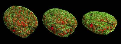 Mitosis Photograph - Mitosis by Dr Lothar Schermelleh