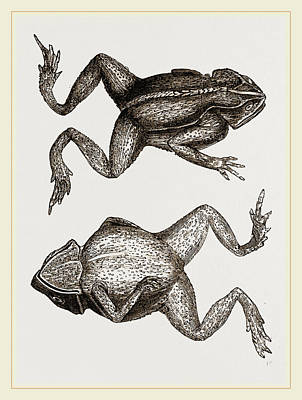 Toads Drawing - Mitred Toad by Litz Collection