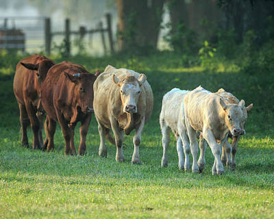 Red Angus Cow Photograph - Mixed Cattle Coming For Water, Florida by Maresa Pryor