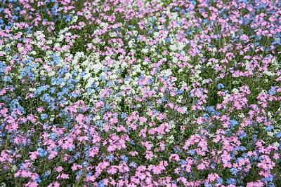 Forget Me Nots Wall Art - Photograph - Mixed Forget-me-nots (myosotis Sylvatica) by Adrian Thomas/science Photo Library