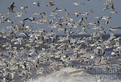Photograph - Mixed Gull Flock by Neil Bowman FLPA