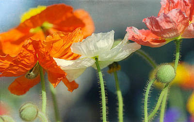 Photograph - Mixed Poppy Bouquet  by Fraida Gutovich