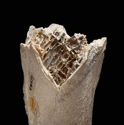 Moa Photograph - Moa Bone Fragment by Natural History Museum, London