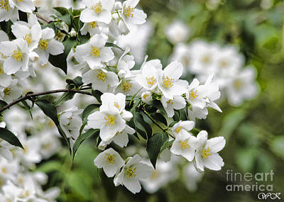 Photograph - Mock Orange by Wanda Krack