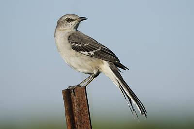Photograph - Mocking Bird On A Metal Post by Bradford Martin