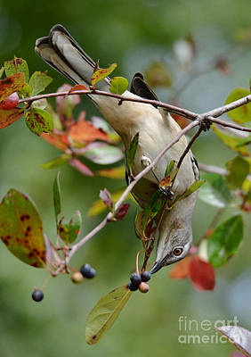 Photograph - Mockingbird And Fall Berries by Kathy Baccari