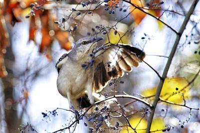 Photograph - Mockingbird And Winter Berries by Jason Politte