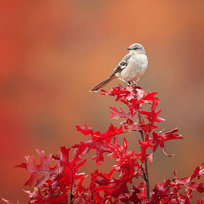 Mockingbird Autumn Square Art Print