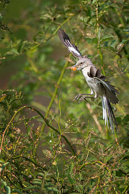 Mockingbird Print by Bill Wakeley