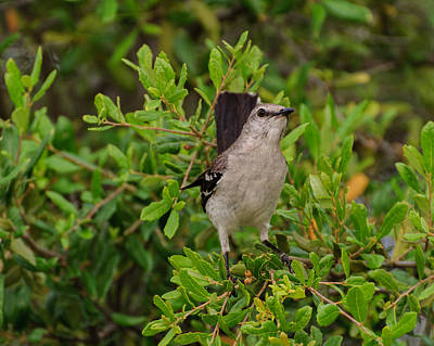 Photograph - Mockingbird In Tree by John Johnson