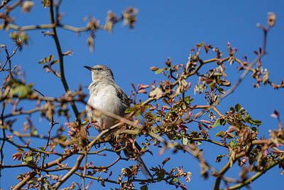 Photograph - Mockingbird  by Jeanne May
