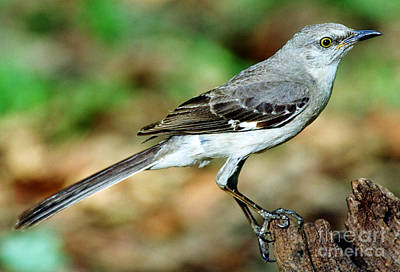 Mockingbird Print by Millard H. Sharp