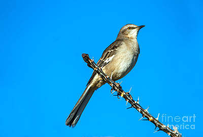 Photograph - Mockingbird by Robert Bales
