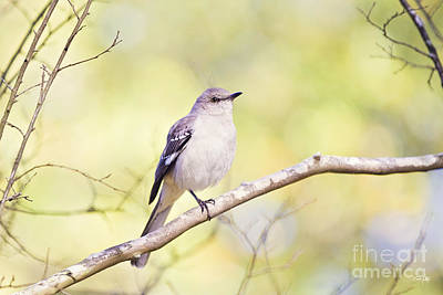 Pellegrin Photograph - Mockingbird by Scott Pellegrin