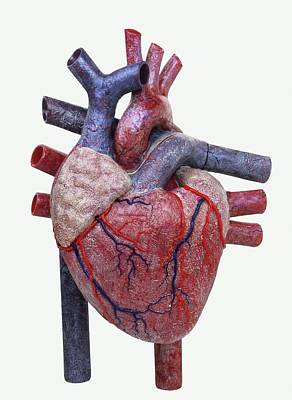 Model Of A Human Heart Art Print by Dorling Kindersley/uig