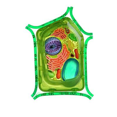 Cut-away Photograph - Model Of A Plant Cell by Science Photo Library