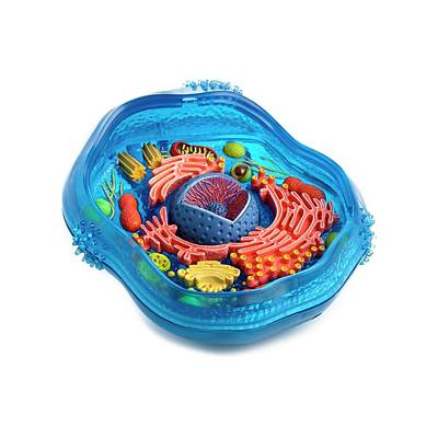 Mitochondrion Photograph - Model Of An Animal Cell by Science Photo Library