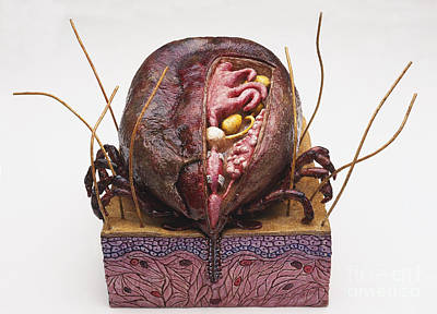 Photograph - Model Of Australian Paralysis Tick by Geoff Brightling and BBC Visual Effects and Dorling Kindersley