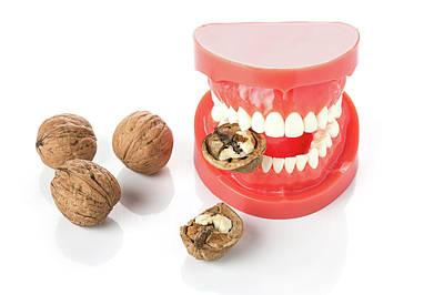 Bite Photograph - Model Of Human Jaw With Walnuts by Wladimir Bulgar