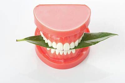 Bite Photograph - Model Of The Human Teeth by Wladimir Bulgar