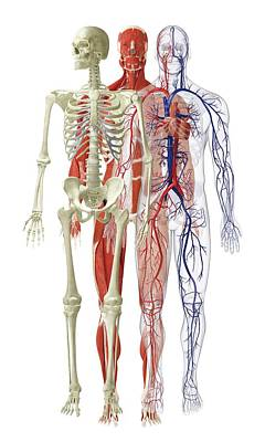 The Human Body Photograph - Models Of Human Skeletal by Dorling Kindersley/uig